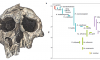 Article: The evolutionary history of the human face